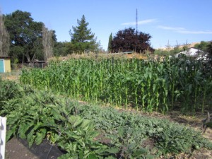 7.18.12 corn