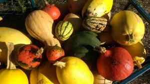WinterSquashes
